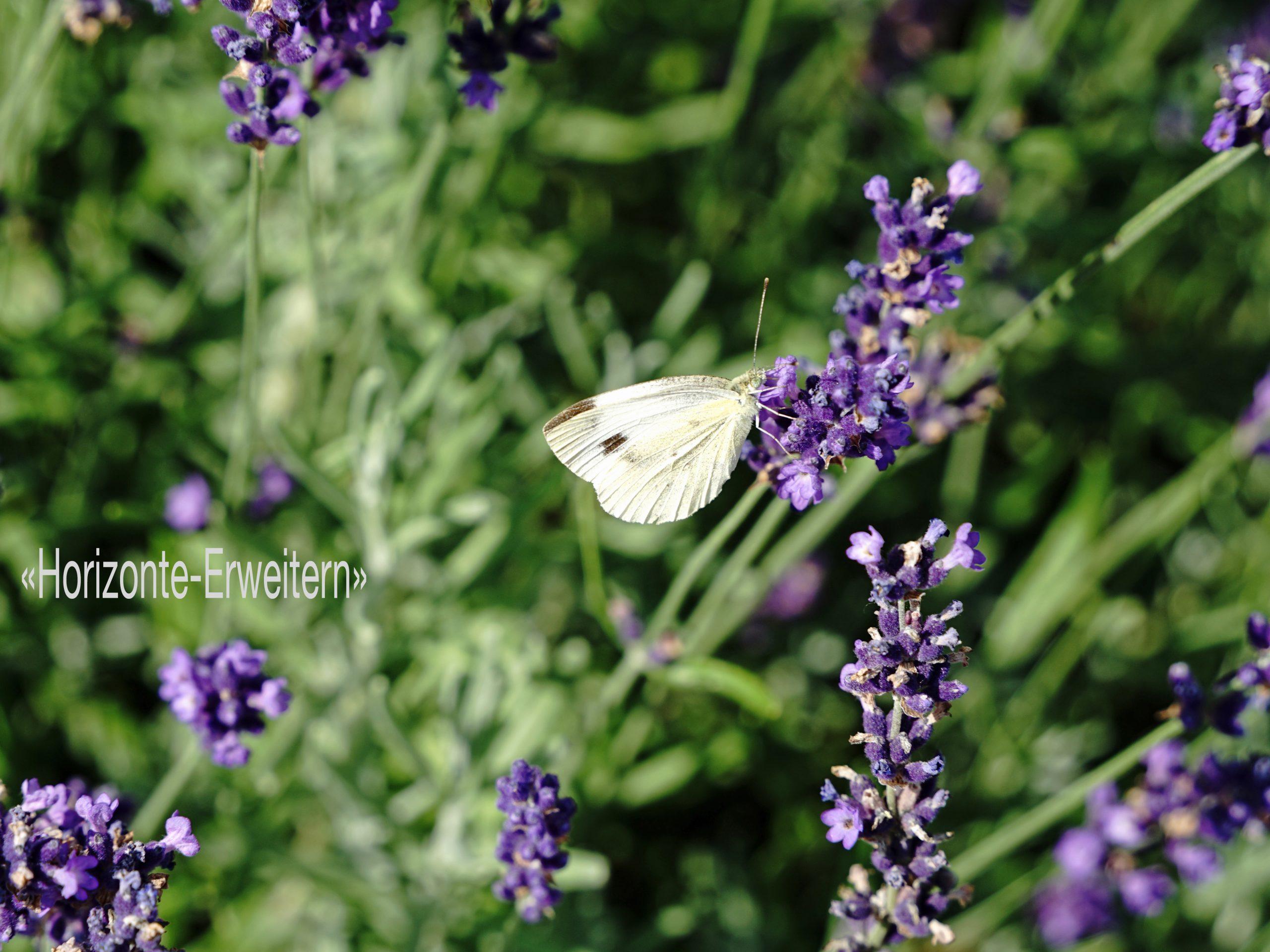 Kohlweissling auf violetter Lavendelblüte