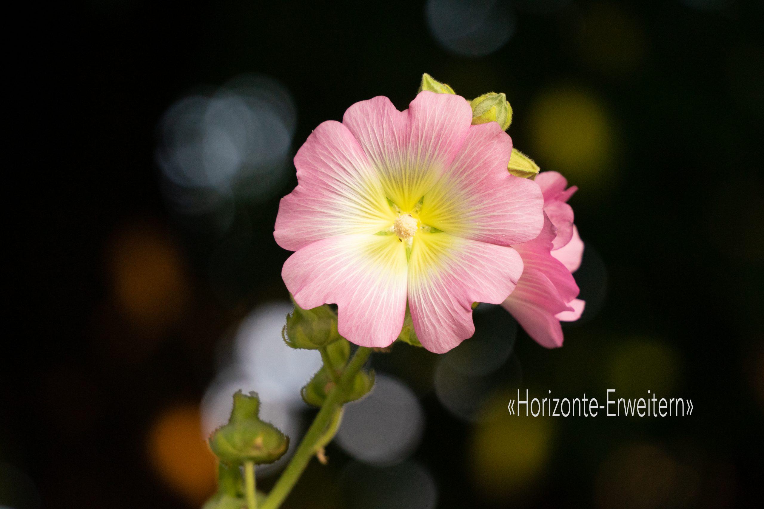 Gewöhnliche Stockrose mit rosafarbenen Blütenblättern