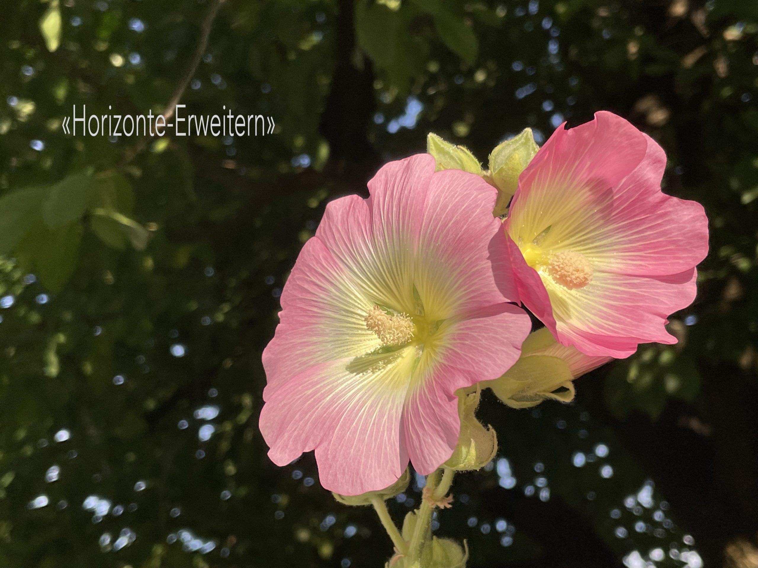 Gewöhnliche Stockrose mit rosafarbener Blüte